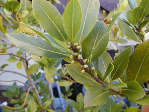 Laurus Nobilis - Bay Leaf