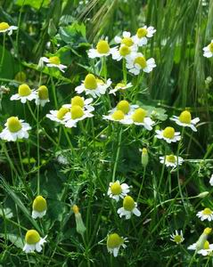 German Camomile