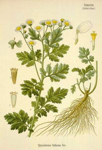 Feverfew at oilsncures.com