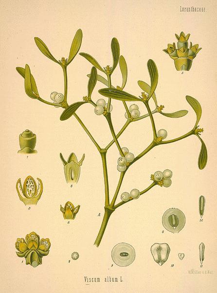 Oilsandplants Com Mistletoe