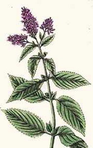 Pennyroyal at oilsncures.com