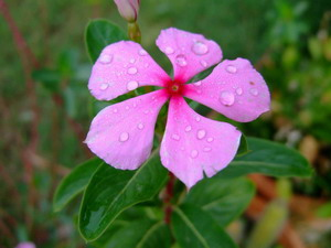 Oilsandplants periwinkle pink periwinkle mightylinksfo