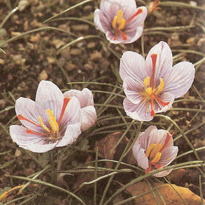 Saffron at oilsncures.com