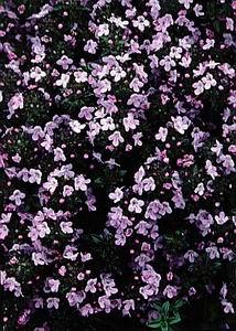 oilsandplants com ~ Thyme Oil Profile